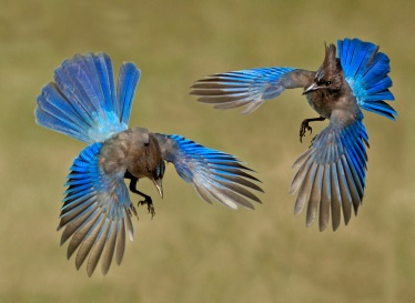 Stellers-Jays-by-Siegfried-Matull-3